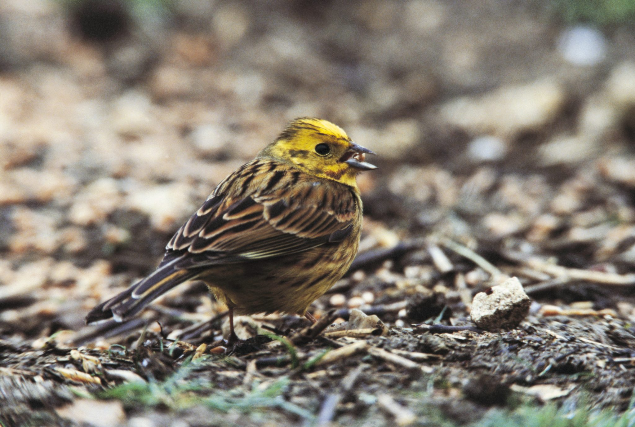 Yellowhammer Emberiza citrinella, adult male feeding on grain at Hope Farm,  April 2002