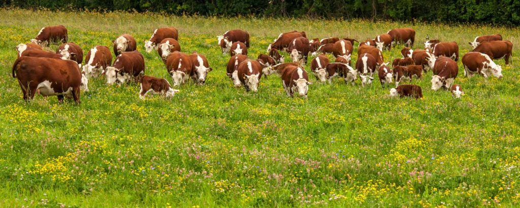 Cattle grazing a herb-rich ley at Whittington Lodge Farm. Image credit: Ian Boyd