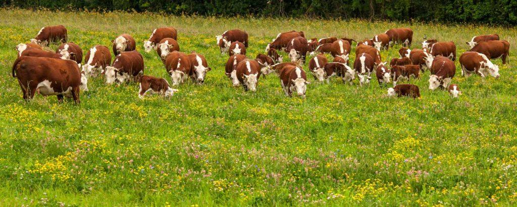 Cattle grazing a herb-rich ley at Whittington Lodge Farm. Image credit: Ian Boyd