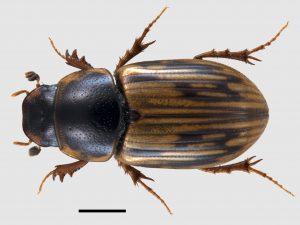 British dung beetles – here to help - Farm Wildlife