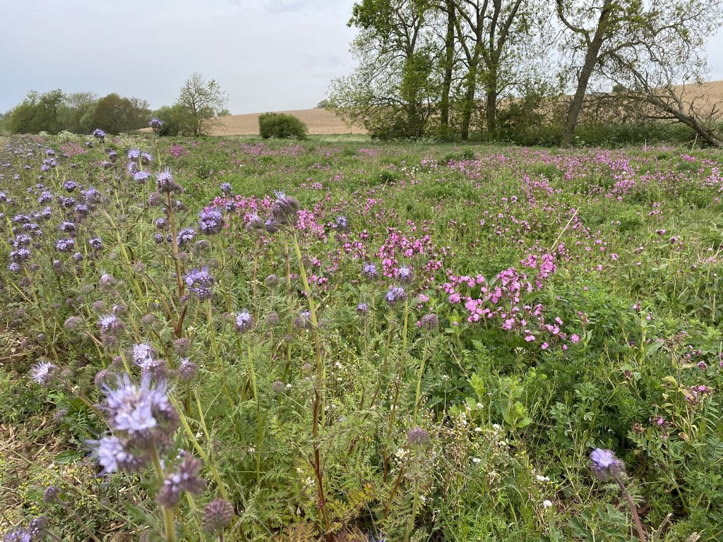 Field margins in flower at Papley Grove Farm (c) Martin Lines