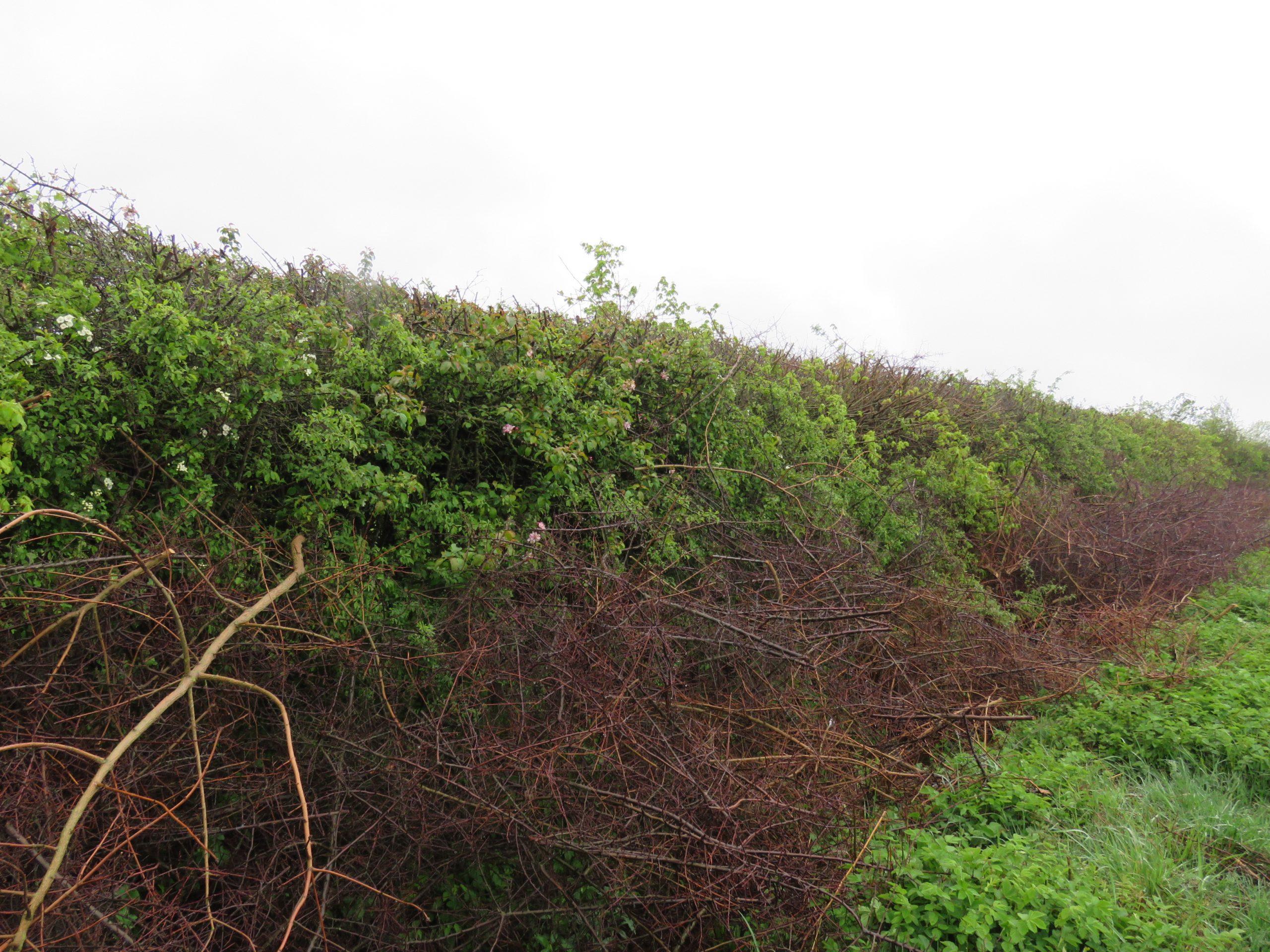 Hedges.......IMG_3699