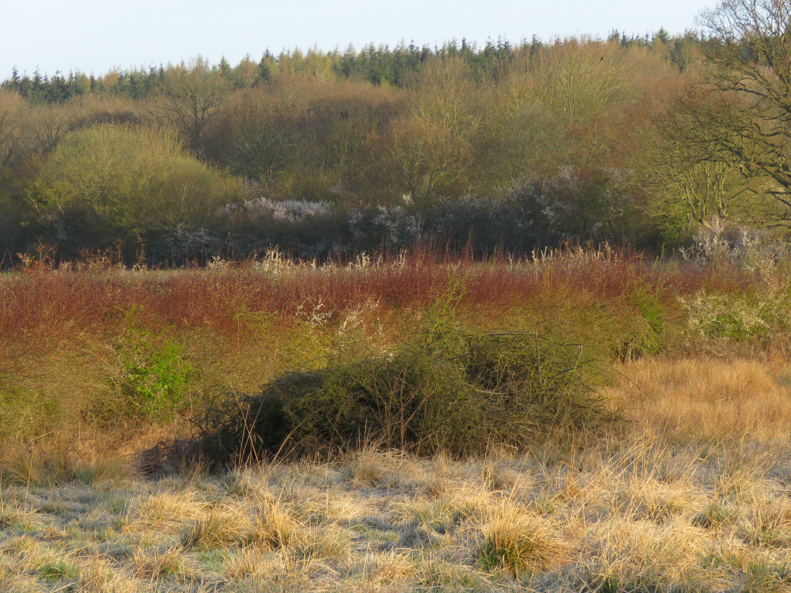 Hedges....IMG_3257