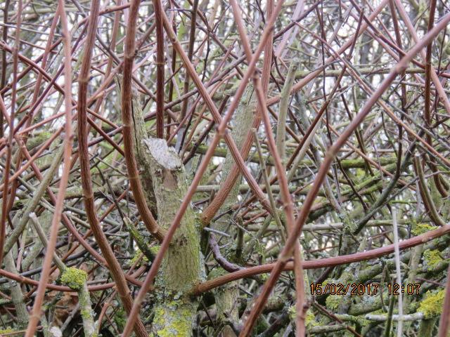 Hedges..IMG_0876