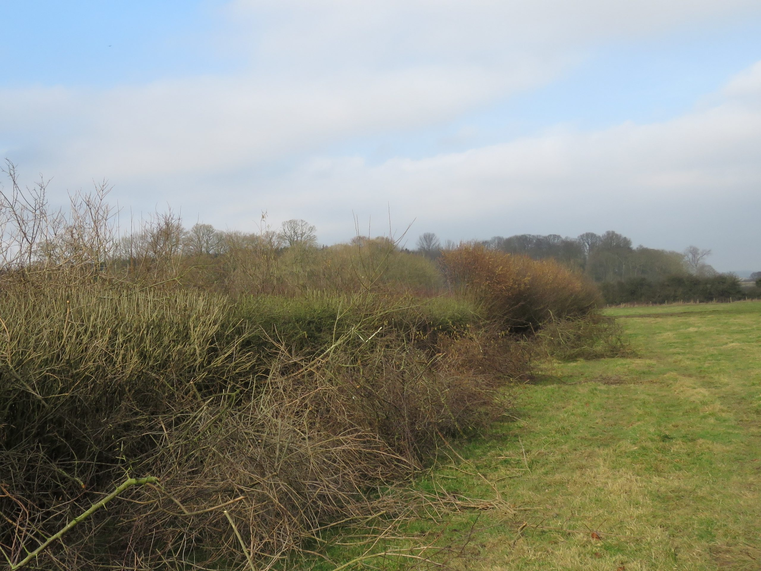 Hedges.IMG_0856