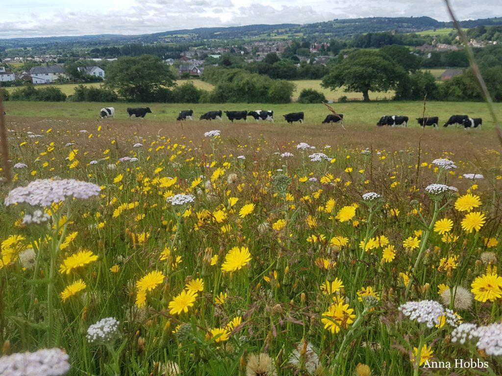 Argoed2 grassland under restoration to wildflower meadow