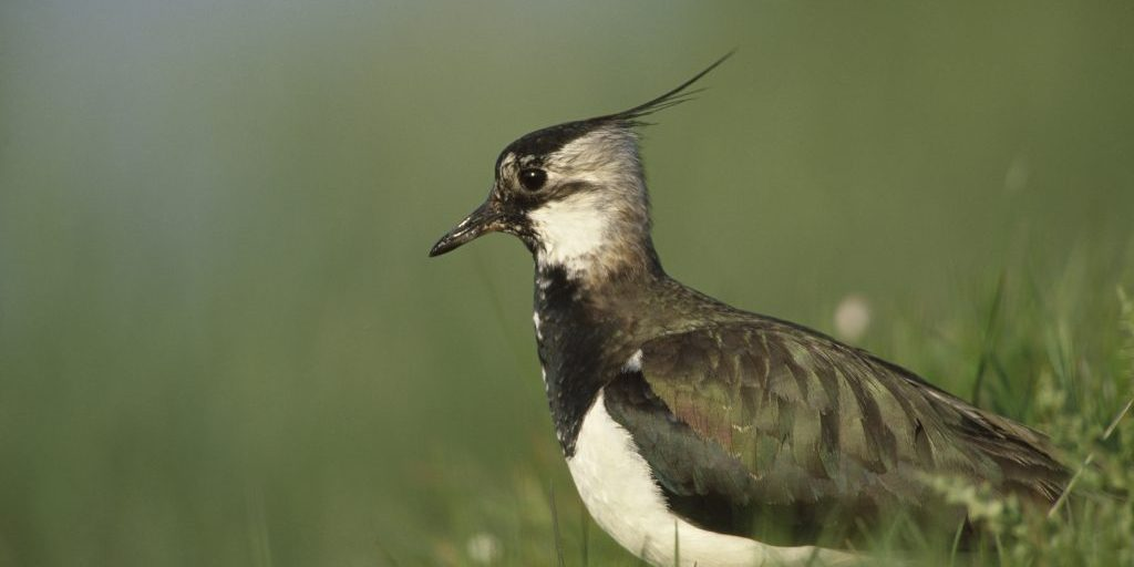 Lapwing Vanellus vanellus, adult, female in breeding habitat pasture, Northumberland, May
