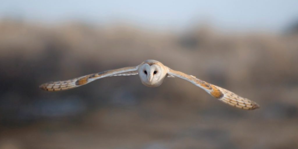 Barn owl tyto alba, hunting across a field, Northumberland, February
