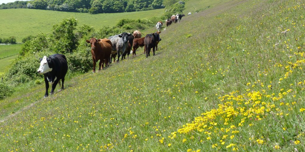 Cattle Grazing at Mottistone Down (Martin Warren)