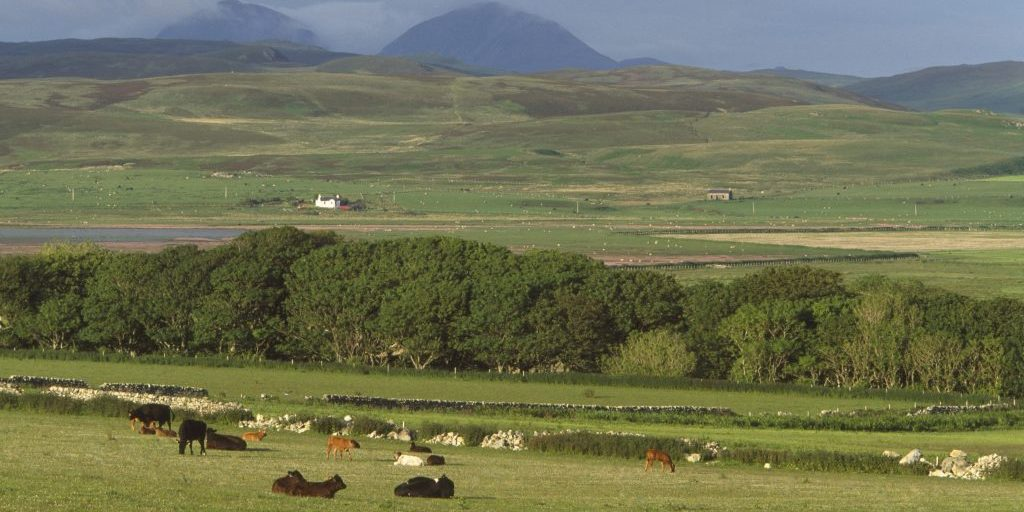 Cattle grazing above Aoradh, the Paps of Jura in the background, Loch Gruinart RSPB reserve, Islay, June 2002