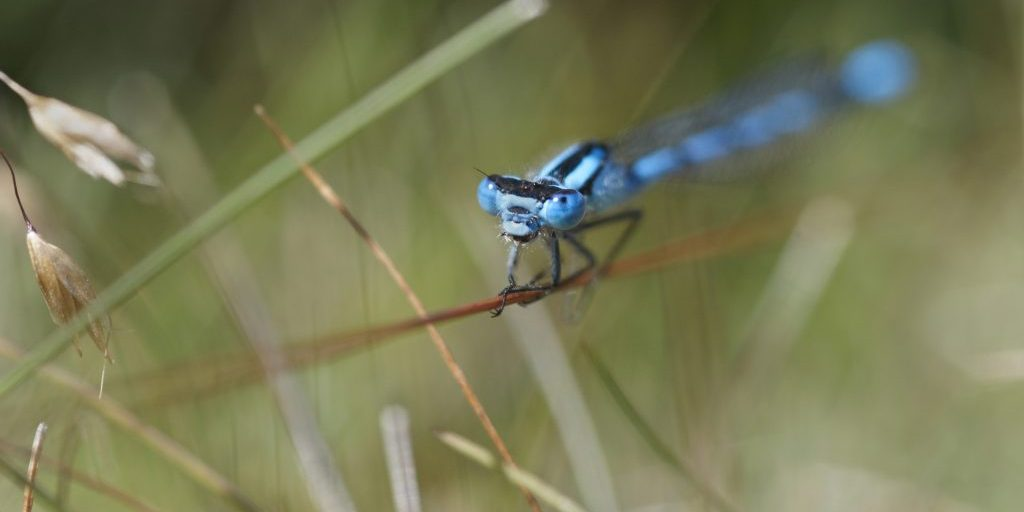 Common blue damselfly, Enallagma cyathigerum, settled on grass in heathland, The Lodge RSPB reserve, Sandy, Bedfordshire. July.