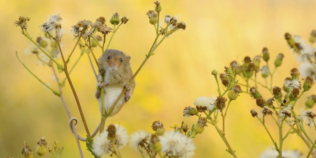 Harvest mouse Micromys minutus, adult in vegetation, Hertfordshire, August, (captive)