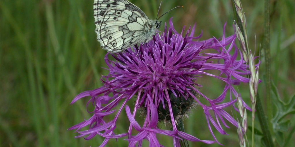Marbled White on knapweed R Winspear