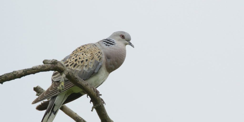 Turtle dove Streptopelia turtur, adult perched in tree top, Fowlmere RSPB reserve, July 2011