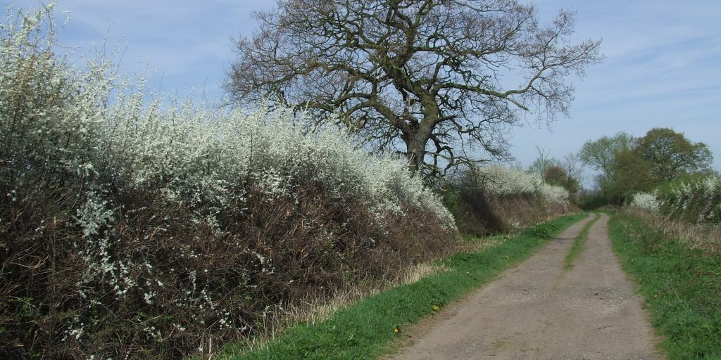 flowering blackthorn R Winspear