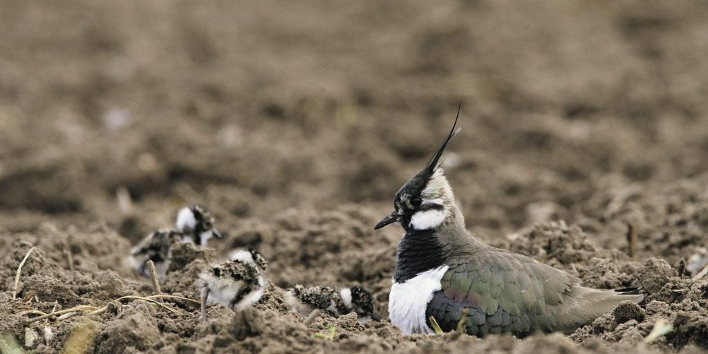 lapwing plot
