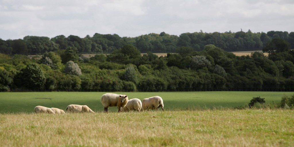 sheep grazing winterborne downs