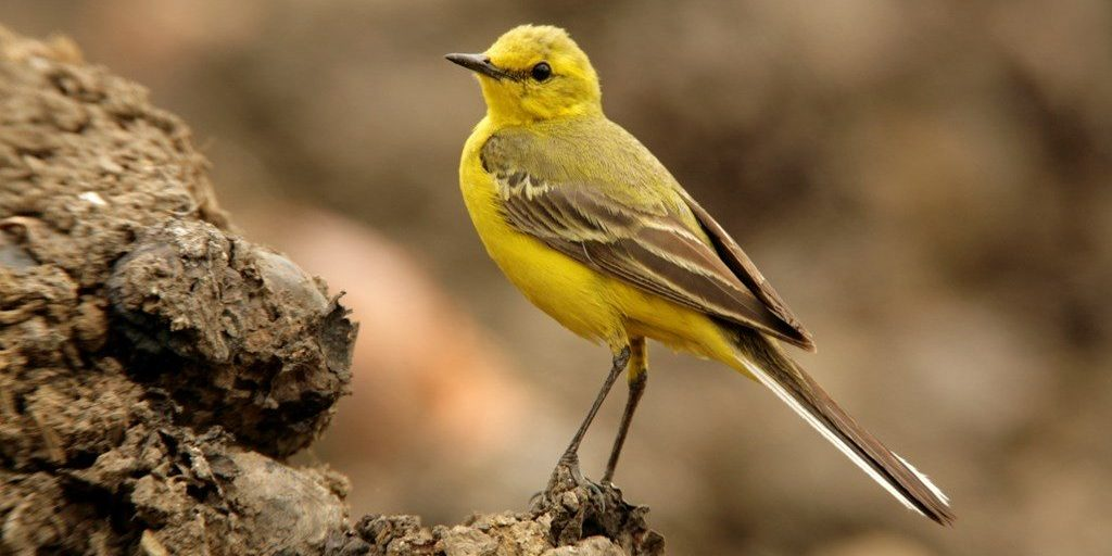 yellow wagtail soil